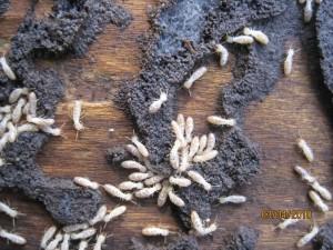 manhattan termites