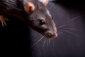 manhattan rodents