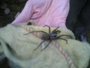manhattan spiders