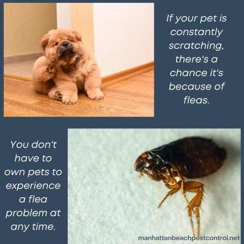 flea-exterminator-Manhattan-Beach-90266
