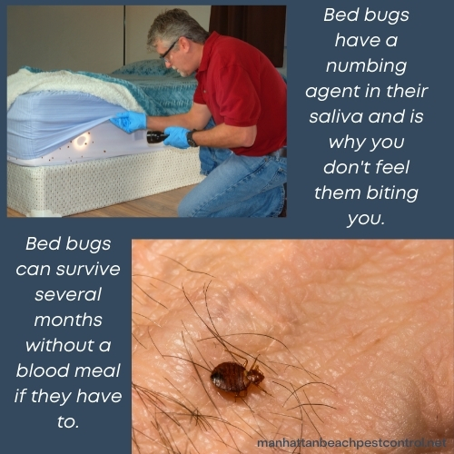 bed-bug-exterminator-Manhattan-Beach-90266
